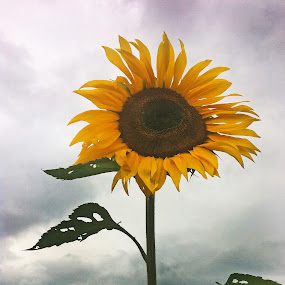 Great Sunflower by Cristobal Garciaferro Rubio - Instagram & Mobile iPhone ( clouds, sunflower, leaves )