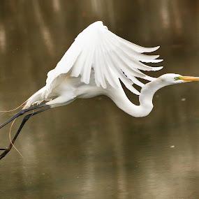 Great White by Bud Schrader - Animals Birds