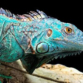 by Judy Rosanno - Animals Reptiles