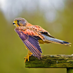 Common Kestrel (Falco tinnunculus) 3 by Ian Flear - Animals Birds (  )