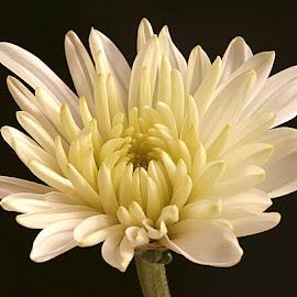 Mini Chrysanth by Chrissie Barrow - Flowers Single Flower ( single, background, peyals, chrysanthemum, black, cream, flower, miniature )