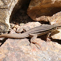 Sonoran Spotted Whiptail (immature)