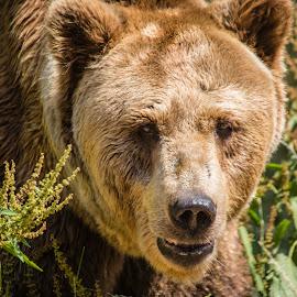 by Ralf Harimau Weinand - Animals Other Mammals ( saarland, bear, deutschland, bär, braunbär, germany )