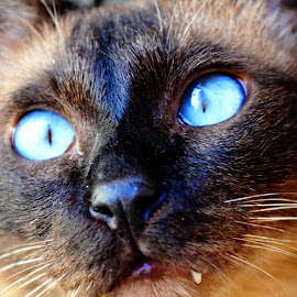 Leon by Vedrana Vidovic - Animals - Cats Portraits ( cat, cat eyes, nikon, siamese, portrait )