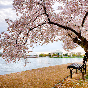 Blossoms on the Tidal Basin by Kevin Miller - City,  Street & Park  Historic Districts ( dc, cherry, jefferson memorial, washington dc, spring, usa, blossoms )