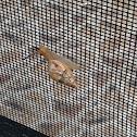 Unknown Spotting ( Land Snail )