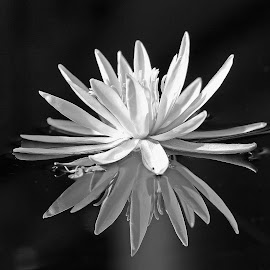 White Water Lilly by Anthony Goldman - Black & White Flowers & Plants ( b & w .botanic garden, water, flower, lilly )