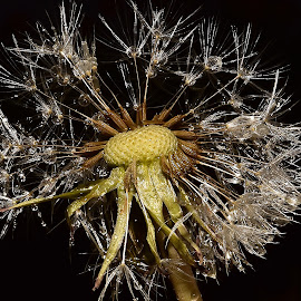 Dandelion  by Denton Thaves - Nature Up Close Natural Waterdrops ( dandelion )