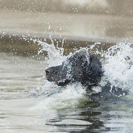 I love water! - 1 by Ole Walter Sundlo - Animals - Dogs Playing ( water, dogs swimming, dogs, dogs playing, water drop )