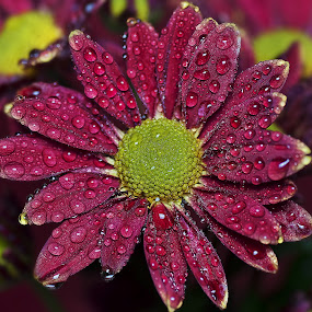 by SweeMing YOUNG - Nature Up Close Flowers - 2011-2013 ( plant, red, nature, droplet, petals, green, beautiful, sweeming young, chrysanthemum, angiosperm, flower, closeup )