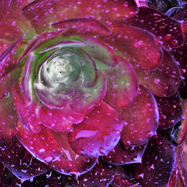 Succulant by Sarah Harding - Novices Only Flowers & Plants ( water, plant, nature, novices only, folwer )