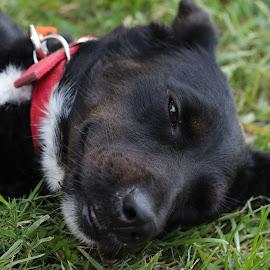 by Suzana Svečnjak - Animals - Dogs Puppies