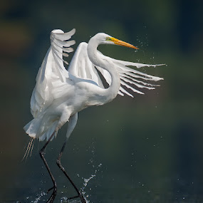 Great Egret Dance by Don Holland - Animals Birds