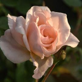 Peachy Rose by Margie Troyer - Flowers Single Flower