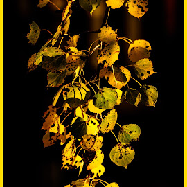 Hanging on by Ingrid Wilcox - Nature Up Close Leaves & Grasses ( nature, fall, branch, yellow, leaves,  )