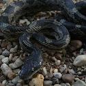 Grey Rat Snake