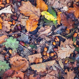 the autumn scene on the ground in the forest by Roberto Sorin - Nature Up Close Leaves & Grasses ( rural, flora, trees, scene, red, beautiful, path, mountain, view, road, season, wood, sky, natural, tree, tranquil, brown, light, background, plant, ground, october, autumn, colorful, fog, forest, color, bright, yellow, scenery, summer, mist, ecology, fall, grass, land, walnuts, park, green, nature, countryside, leaf, orange, outdoor, foliage, environment, sunlight, travel, wild, landscape,  )
