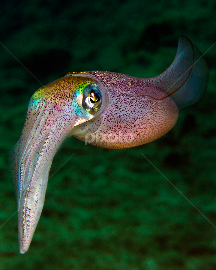Squid by Rico Besserdich - Animals Sea Creatures ( creature, underwater, sea, ocean, underwaterphoto, squid )