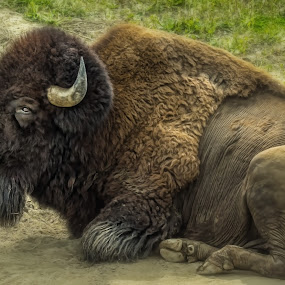 King of the Plains by Sheen Deis - Animals Other Mammals ( buffalo, bison, plains,  )