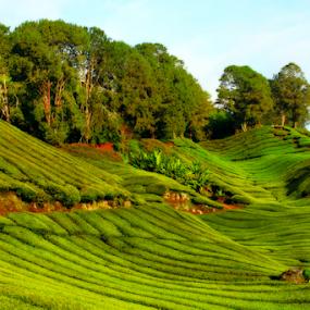 Tea Farm HIll by Steven De Siow - Landscapes Mountains & Hills ( highland, farm, hill, farmland, landscape, tea farm )