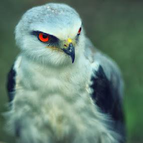 White Eagle 3 by Dimas N - Animals Birds