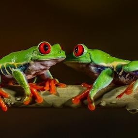Eye to eye by Garry Chisholm - Animals Amphibians ( canon, studio, macro, red, nature, tree, frog, amphibian, garrychisholm, eye,  )