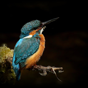 Alcedo Atthis by Lillian Utstrand Gulliksen - Animals Birds ( bluebird, isfugl, alcedo atthis, kingfisher, jewelbird )