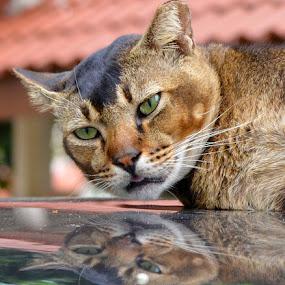 Cat by Kelvin Đào - Animals - Cats Portraits ( look, reflection, cat, head, lye )