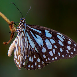 Butter Fly by Gurung Purna - Animals Insects & Spiders ( butterfly, colourful, closeup )