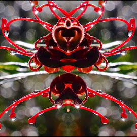 grevillea drops by Donna Racheal - Abstract Water Drops & Splashes ( mirror, abstract, macro, red, droplets )