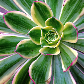 Echeveria by Martha van der Westhuizen - Instagram & Mobile iPhone ( succulent, crown, cluster, echeveria, leaves, closeup )