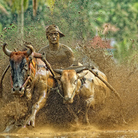 pacu jawi race by Don Borland - News & Events Sports