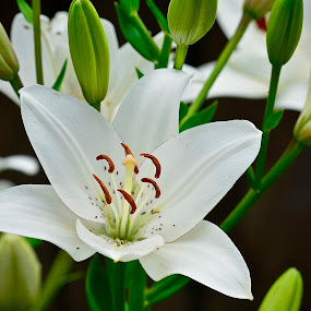 by Victoria Eversole - Flowers Flower Gardens ( nature up close, white flowers, southeastern gardens, asiatic lillies )