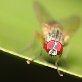 Housiefly. by Gokul Rajenan - Nature Up Close Other Natural Objects ( #housefly #greenish #blackish #eyes #macro )