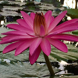 waterlily by Janette Ho - Instagram & Mobile iPhone