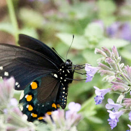 butterfly 10 by Andy Antipin - Animals Insects & Spiders ( butterfly, animals, nature, gardens, flowers )
