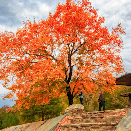 Bright Orange Tree by Kathy Suttles - Nature Up Close Trees & Bushes ( orange, tree, fall, leaves, portrait, stone stairs )