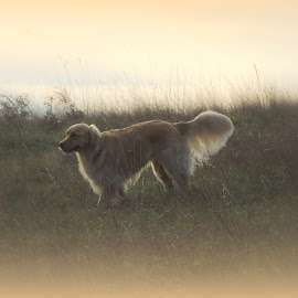 Golden by Becky Luschei - Animals - Dogs Running ( dog park, whidbey island, afternoon, greenbank wa, dog, running, sun, golden retriever )