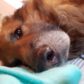 sleepy dog by Suzana Svečnjak - Instagram & Mobile Android ( animals, dogs, pets, german shepherd )