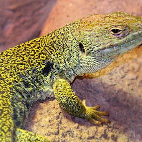 Ocelatus lizard by Gérard CHATENET - Animals Reptiles