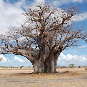 Bare Baobab by DJ Cockburn - Nature Up Close Trees & Bushes ( baobab, adansonia, tanzania, selous national park,  )