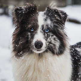Snow Day by Jessica Grütter - Animals - Dogs Portraits ( snow, white, blue eyes, dog, sheltie,  )