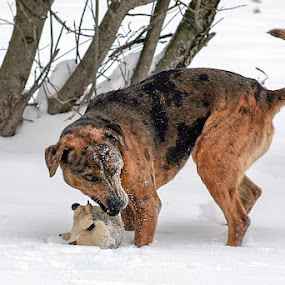 Snow Day by Christy Borders - Animals - Dogs Playing ( playing, winter, catahoula, snow, dog, dog toy )