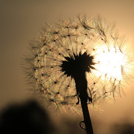 Dandelion Sunrise by Robin Smith - Nature Up Close Other plants ( macro, sunrise, nature, weeds )