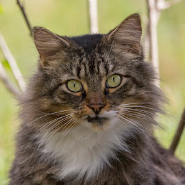 Little Max by Lynn Kohut - Animals - Cats Portraits ( pet portrait, cat, housecat, pet, maine coon, feline, animal )
