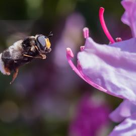 Volucella bombylans by Miroslav Ondříšek - Animals Insects & Spiders ( detail, fly, fauna, summer, volucella bombylans, insect, close up, flower )