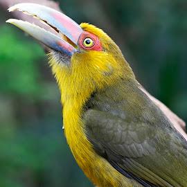 Saffron Toucanet!++ by Itamar Campos - Animals Birds ( saffron toucanet )