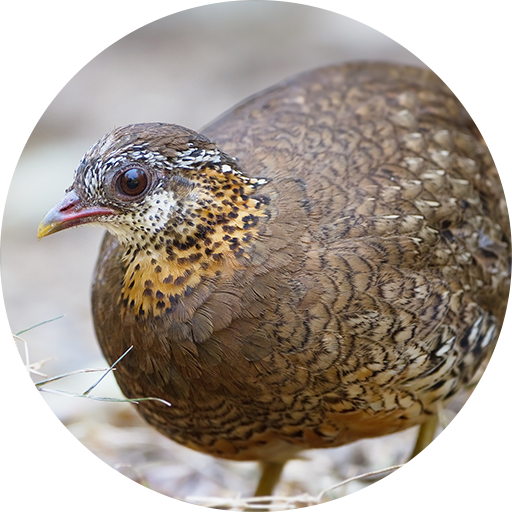 Quail Call Sounds (app)