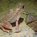 Dwarf Stream Toad