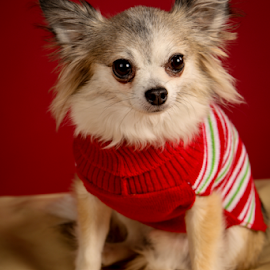 Christmas Package by Myra Brizendine Wilson - Animals - Dogs Portraits ( canine, pet, dog, pomeranian )